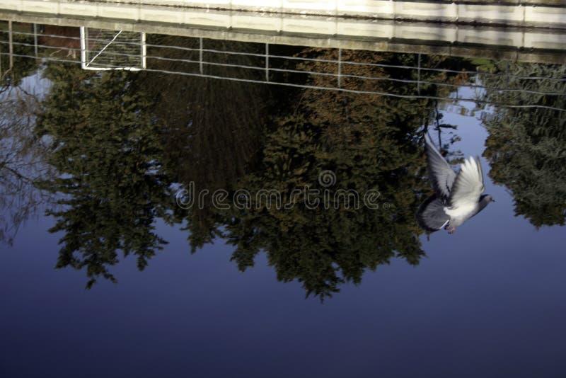 Un vuelo de la paloma con las reflexiones de los árboles en la charca imagenes de archivo