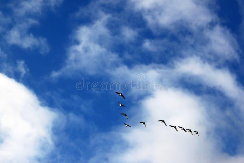 Un vuelo de los gansos de lapa, Suecia imagen de archivo