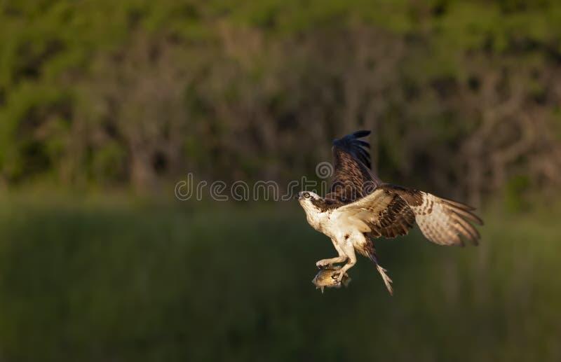 Un vuelo del haliaetus del Pandion de Osprey con alas abiertas y un pescado como se acerca a la jerarquía con esperar joven del h foto de archivo libre de regalías