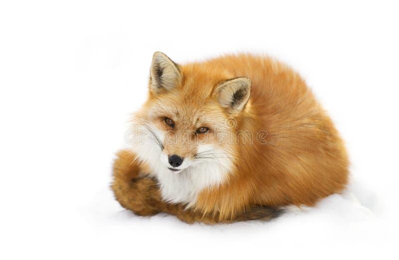 Un vulpes de Vulpes de renard rouge avec une queue touffue d'isolement sur le fond blanc courbé dans la neige d'hiver en parc d'a photo stock