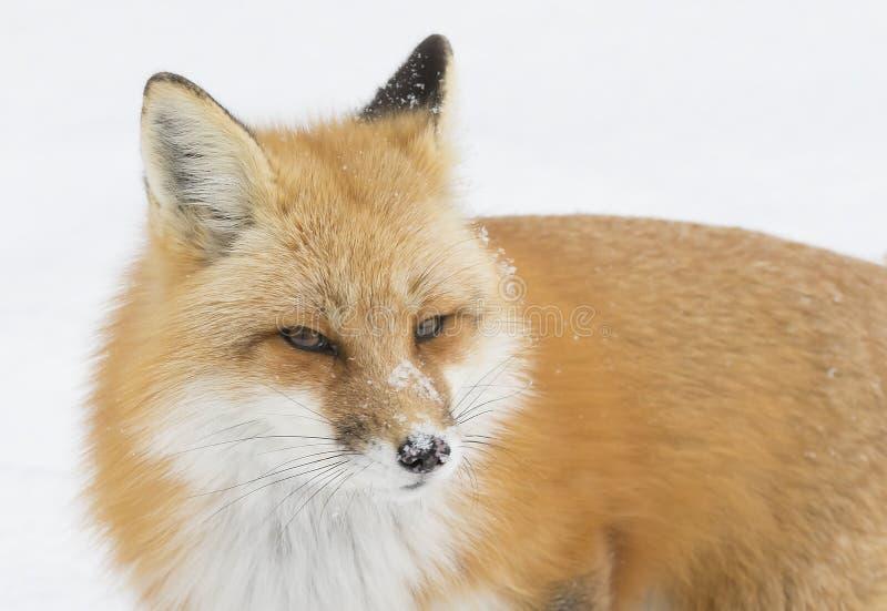 Un vulpes de Vulpes de renard rouge dans la forêt de pin avec une queue touffue chassant dans la neige fraîchement tombée en parc images libres de droits