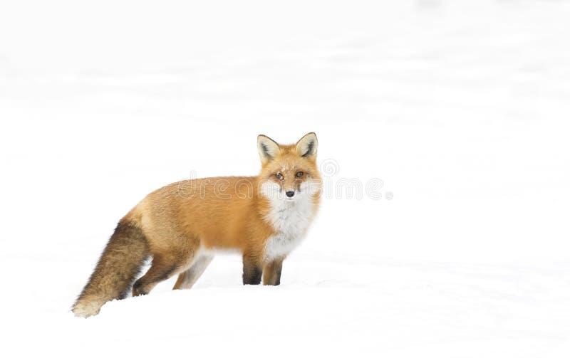 Un vulpes del Vulpes del zorro rojo con una cola espesa aislada en el fondo blanco que camina y que caza a través de la nieve en  imagen de archivo libre de regalías