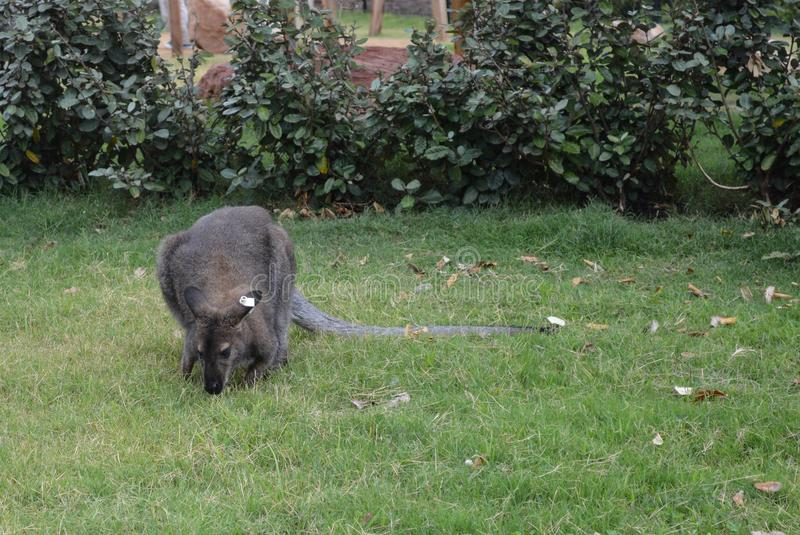 Un wallaby au zoo mangeant l'herbe photographie stock