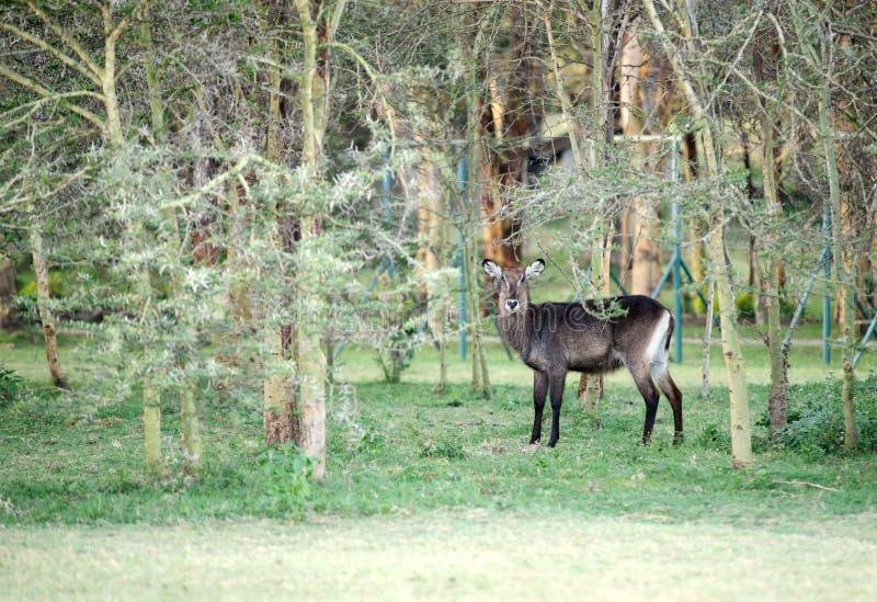Un Waterbuck hermoso en la selva cerca del lago Naivasha imagen de archivo libre de regalías