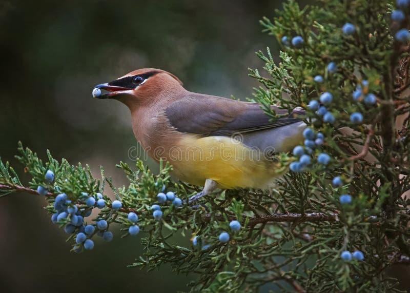 Un waxwing di cedro che mangia una bacca blu fuori da un albero sempreverde in fotografia stock