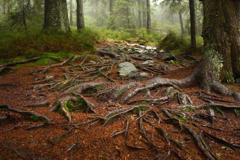 Un web dell'albero pianta la crescita sopra le rocce accanto ad una traccia di escursione Un banco di legno e una tavola nel fond immagini stock