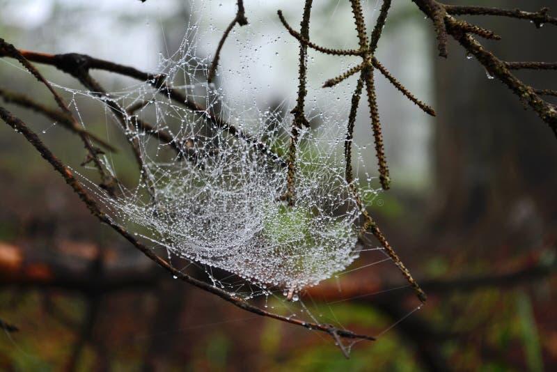 Un web spesso ed aggrovigliato sui rami nella rugiada di una foresta nebbiosa fotografia stock libera da diritti