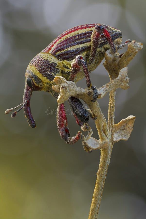 un weefil en la flor imágenes de archivo libres de regalías