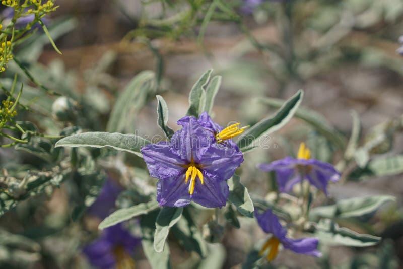 Un wildflower pourpre minuscule photos libres de droits