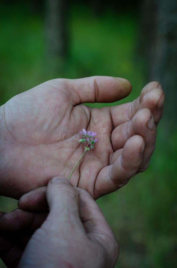 Un wildflower pourpre très petit dans des mains femelles Macro Foyer s?lectif photos stock