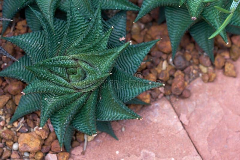 Un xerophyte, llamado Zebra Fasciata Haworthia, una planta con las rayas le gusta una cebra Cultivación en el suelo en la casa de fotos de archivo