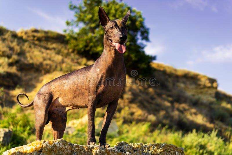 Un xoloitzcuintle sin pelo mexicano del perro, Xolo se opone en la puesta del sol a un contexto de las colinas de piedra y del ci imagenes de archivo