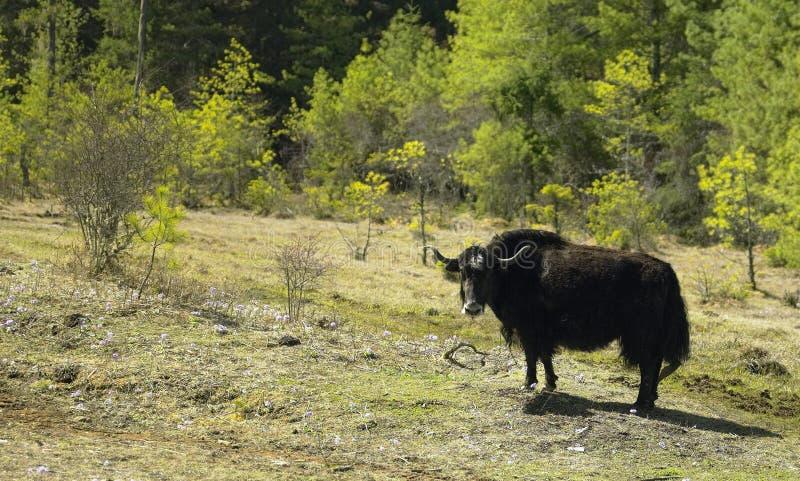 Un yak en Himalaya - Bhutan photo libre de droits