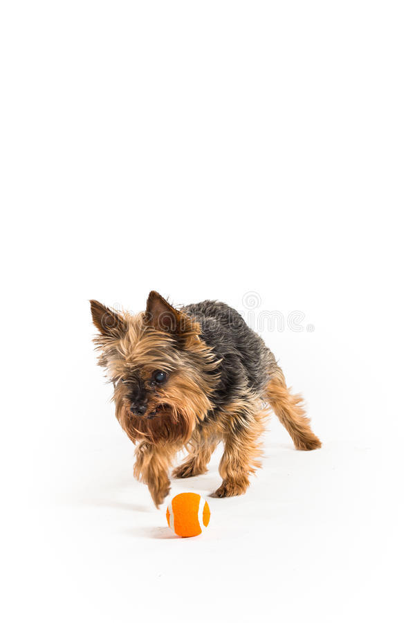 Un Yorkshire Terrier photos stock