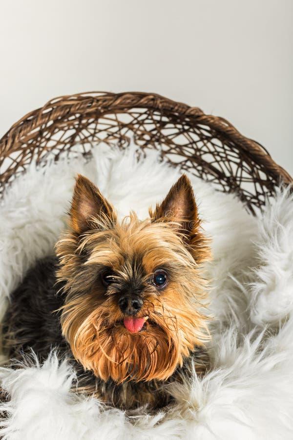Un Yorkshire Terrier photos stock