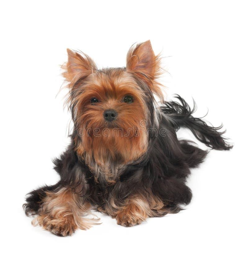 Un Yorkshire Terrier avec les cheveux bouclés photographie stock