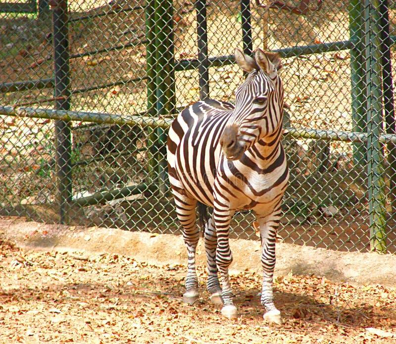 Un zèbre de plaines - Quagga d'Equus photographie stock libre de droits