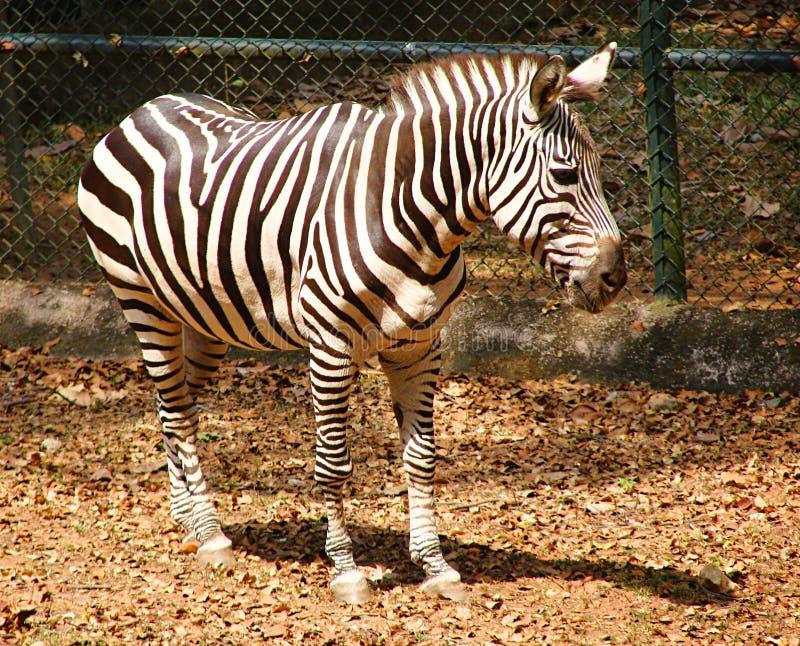 Un zèbre de plaines - Quagga d'Equus image libre de droits