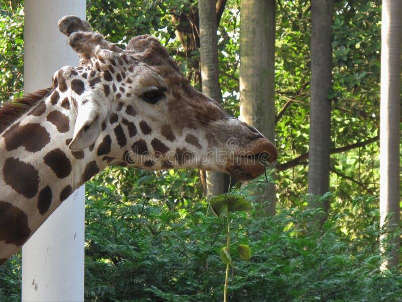 Un zoo dans Guangzhou, une girafe mâchant l'herbe photos libres de droits