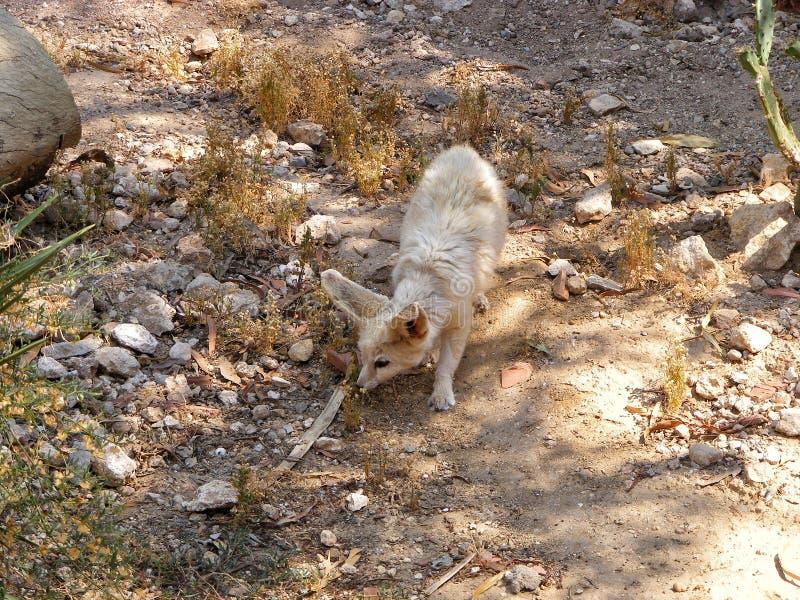 Un zorro del fennec del zorro del desierto fotos de archivo libres de regalías