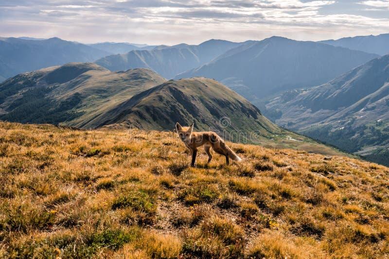 Un zorro en la cumbre del pico del cupido Paso de Loveland, Colorado Rocky Mountains fotos de archivo libres de regalías