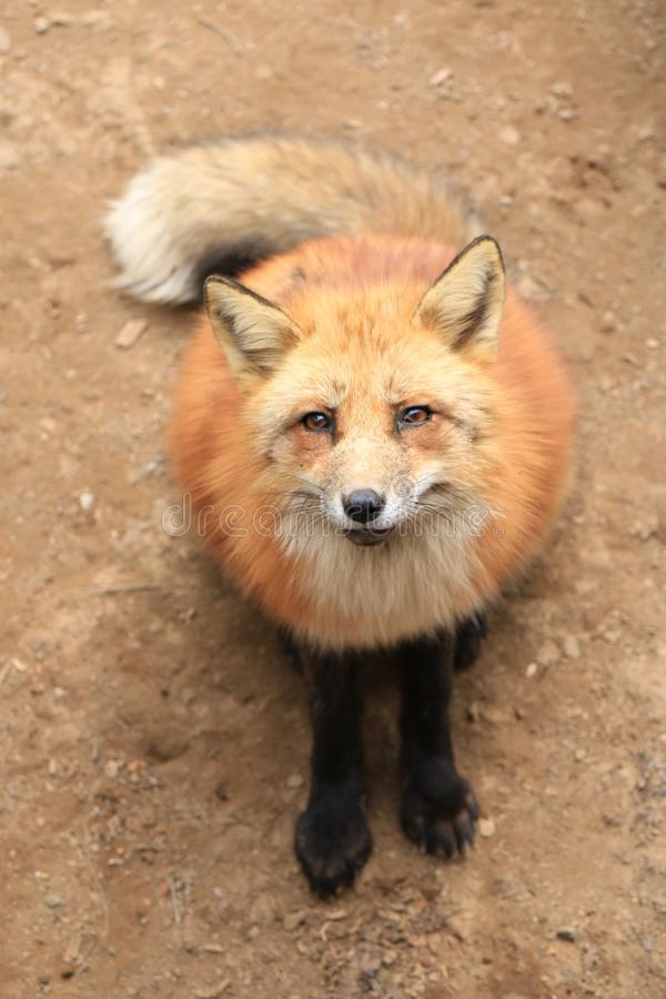 Un zorro rojo en Japón foto de archivo
