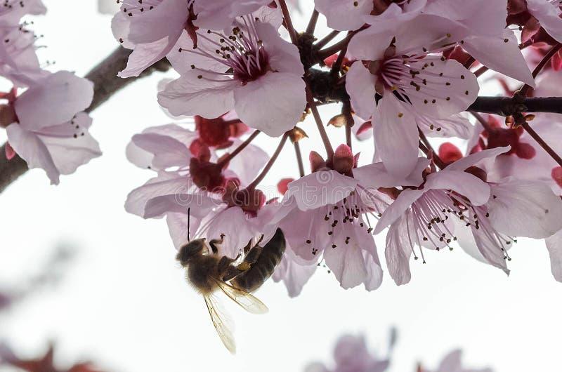 Una abeja imágenes de archivo libres de regalías