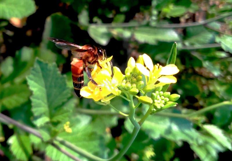 Una abeja foto de archivo libre de regalías