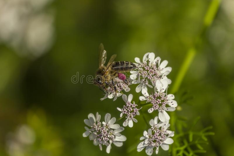 Una abeja con polen rosado fotos de archivo