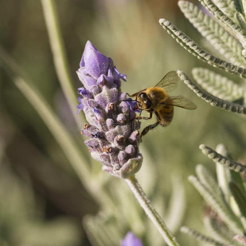 La abeja de la miel lame la flor de la lavanda fotos de archivo libres de regalías