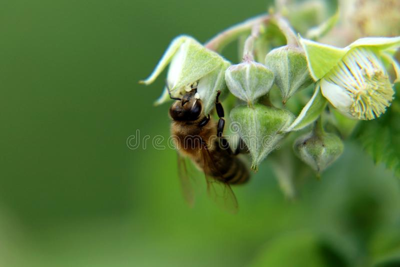 Una abeja de la miel, un mellifera occidentales de los Apis, sentándose en la floración de la frambuesa y hacen su trabajo Flor d imagen de archivo libre de regalías