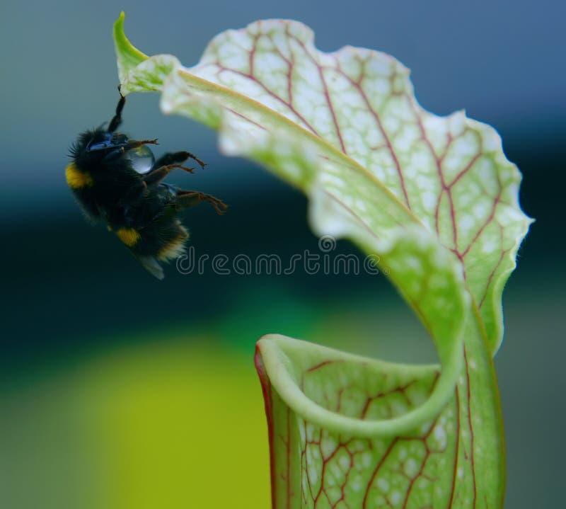Una abeja del manosear que recoge el néctar fotografía de archivo libre de regalías