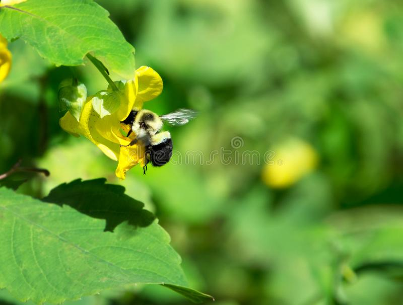 Una abeja del manosear y una flor amarilla con el espacio verde abierto foto de archivo libre de regalías