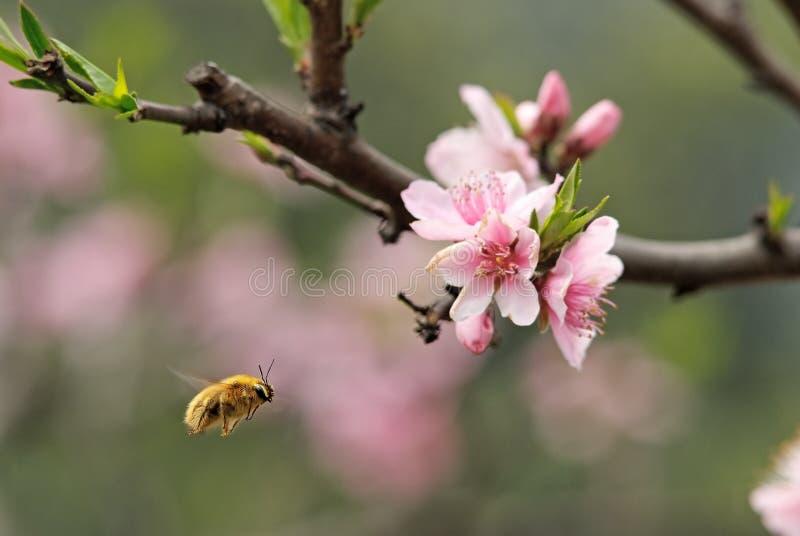 Una abeja del vuelo imagen de archivo libre de regalías