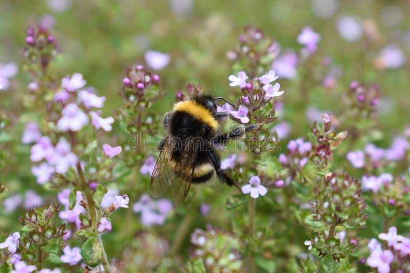 Una abeja en el tomillo de florecimiento fotos de archivo
