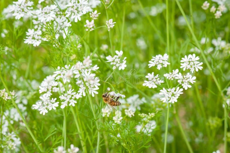 Una abeja en una flor blanca del alforfón foto de archivo libre de regalías
