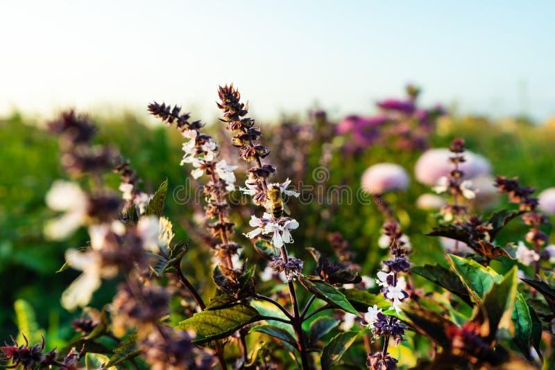 Una abeja en una flor de la albahaca Flor de la albahaca, gran albahaca imágenes de archivo libres de regalías