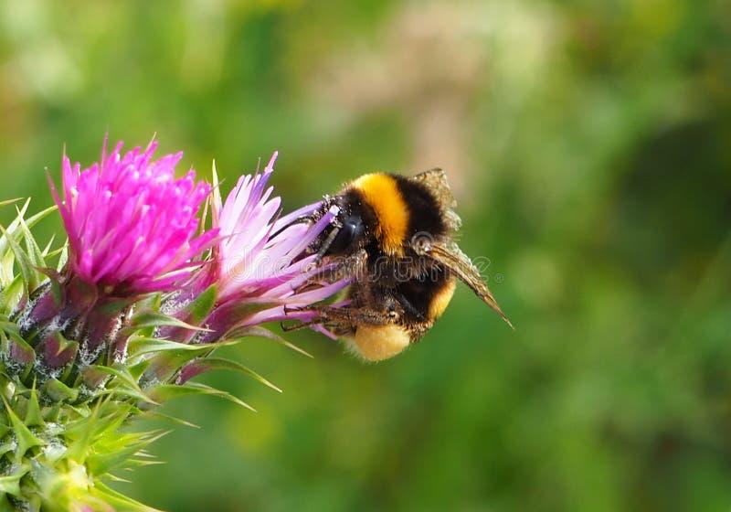Una abeja en una flor en un jardín imagen de archivo