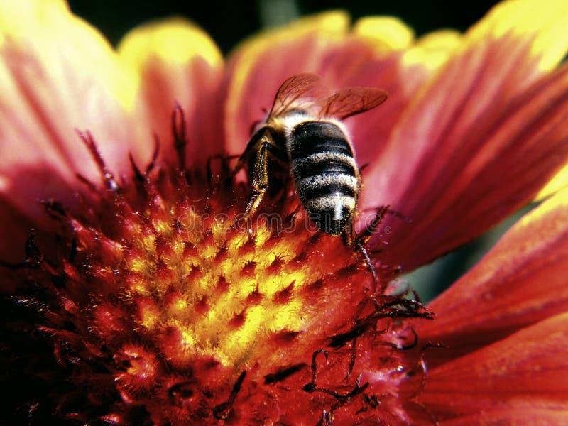 Una abeja mordisca en una flor rojo-amarilla foto de archivo libre de regalías