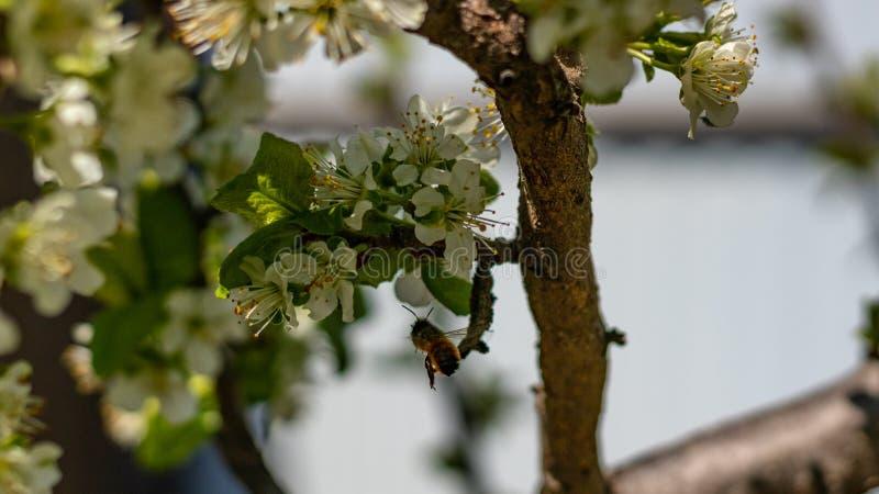Una abeja o una avispa vuela cerca de un árbol de la flor El insecto poliniza las flores de la cereza y de la manzana imagenes de archivo