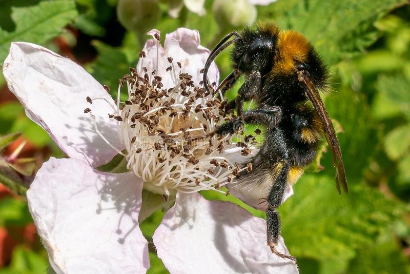 Una abeja que chupa el néctar de una flor imagen de archivo