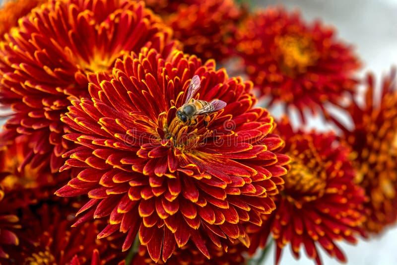 Una abeja que recoge el polen de un de color rojo oscuro con la flor amarilla del crisantemo del borde imagenes de archivo