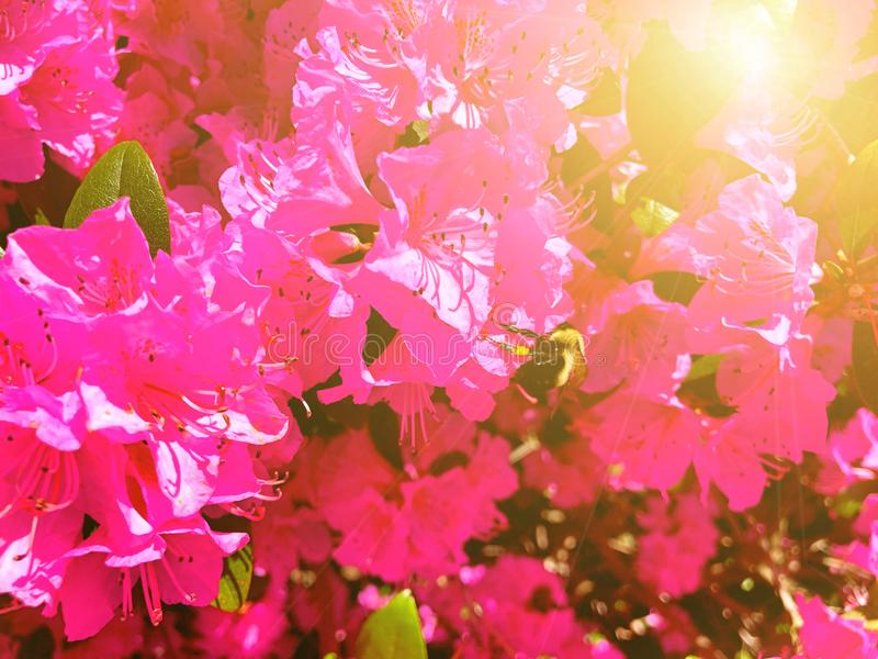 Una abeja que recolecta la miel de las flores grandes de los rododendros de un rosa del arbusto fotos de archivo libres de regalías