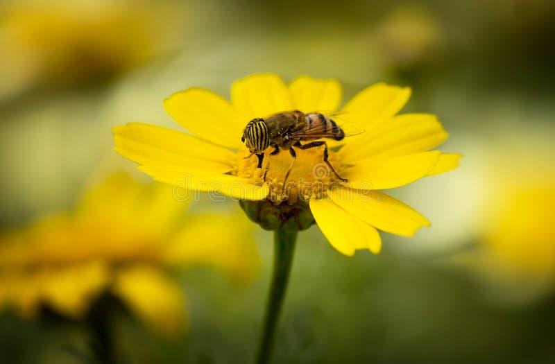 Una abeja que vive el humor de la primavera imágenes de archivo libres de regalías