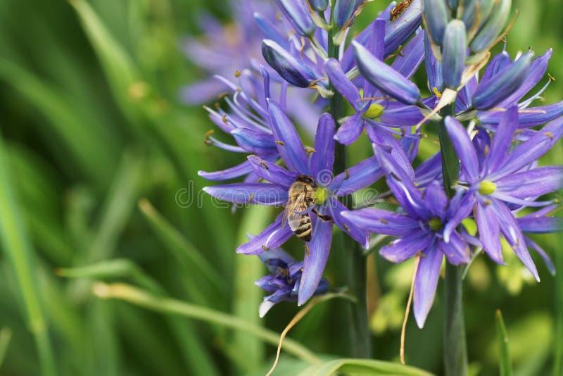 Una abeja se sienta en una flor azul en el jardín en el jardín foto de archivo