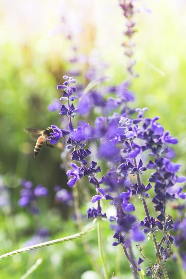 Una abeja sobre la flor púrpura fotografía de archivo libre de regalías