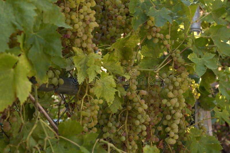 Una abundancia de racimos de uvas orgánicas dulces que crecen en las vides listas para la cosecha, comida sana jugosa imagen de archivo libre de regalías