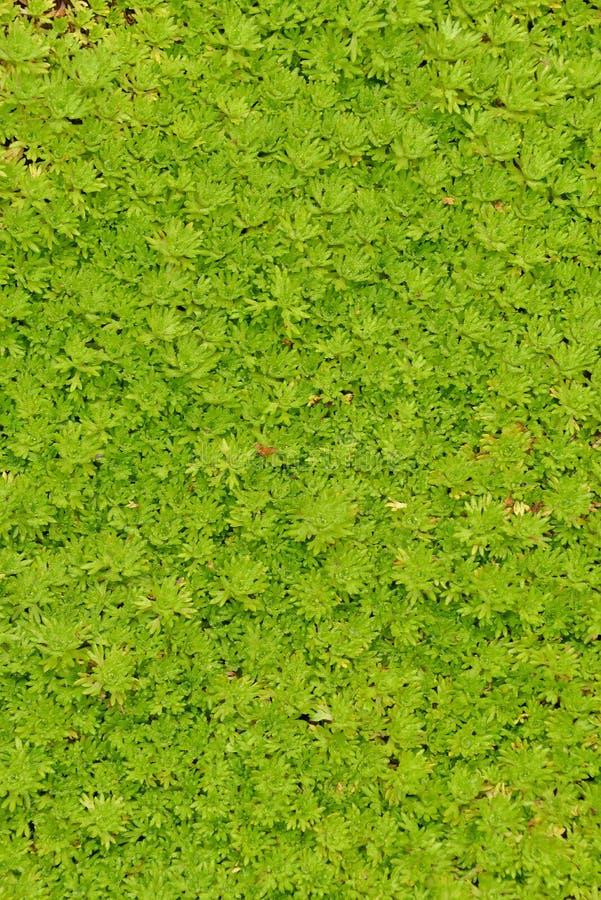 Una alfombra inusual del verde fotografía de archivo libre de regalías