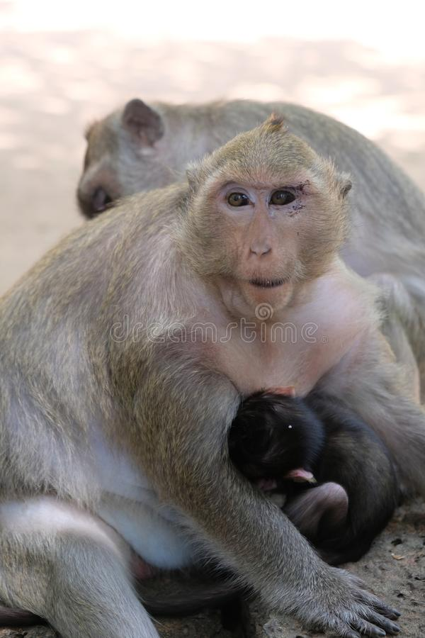 Una alimentaci?n del mono del beb? de su madre en Angkor, Camboya imagenes de archivo