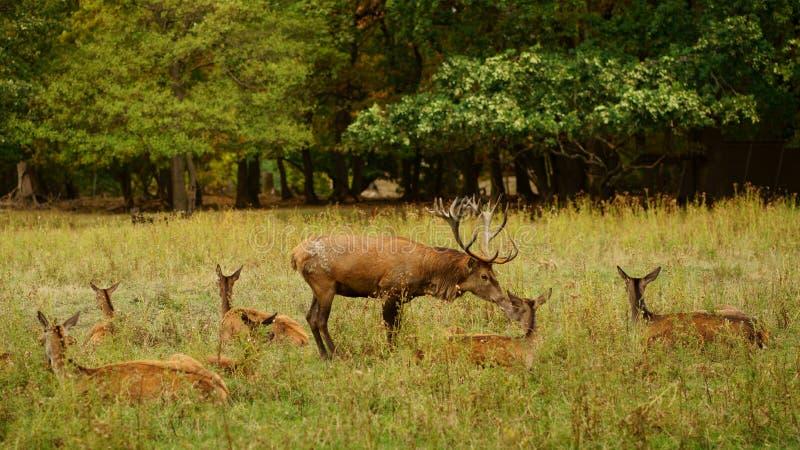 Una amistad de los ciervos Un macho europeo de los ciervos comunes que besa su trasero durante el celo foto de archivo
